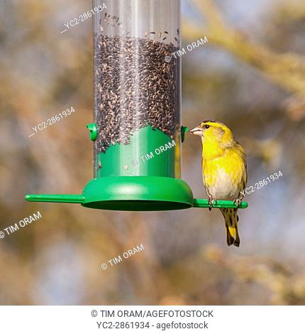 A Eurasian Siskin (Carduelis spinus) adult male on a bird feeder in the Uk