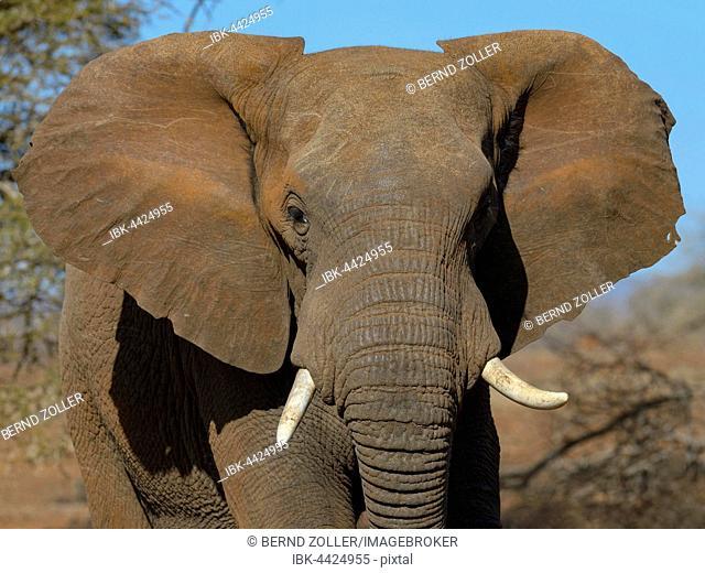 African elephant (Loxodonta africana), young bull, Zimanga Private Game Reserve, KwaZulu-Natal, South Africa