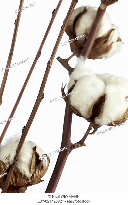 Frische weiße knospen aus Baumwolle am Zweig