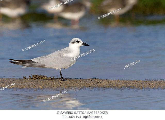 Gull-billed Tern (Gelochelidon nilotica), standing on mud, Salalah, Dhofar, Oman