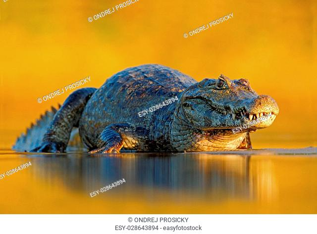 Caiman, Yacare Caiman, crocodile in the river surface, evening