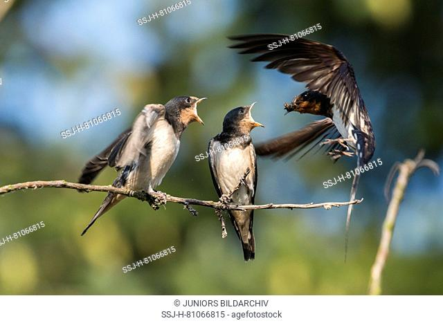 Barn Swallow (Hirundo rustica). Parent feeding chicks. Germany
