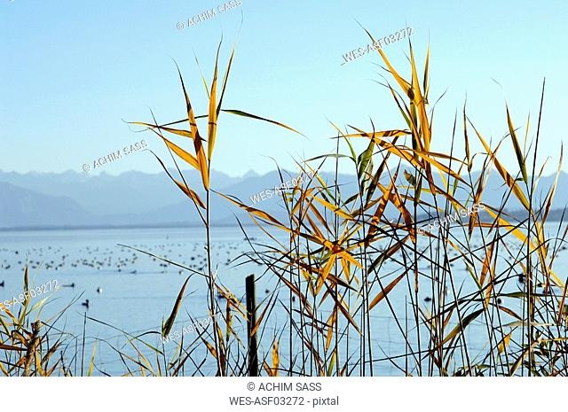 Germany, Bavaria, reed at the Ammersee