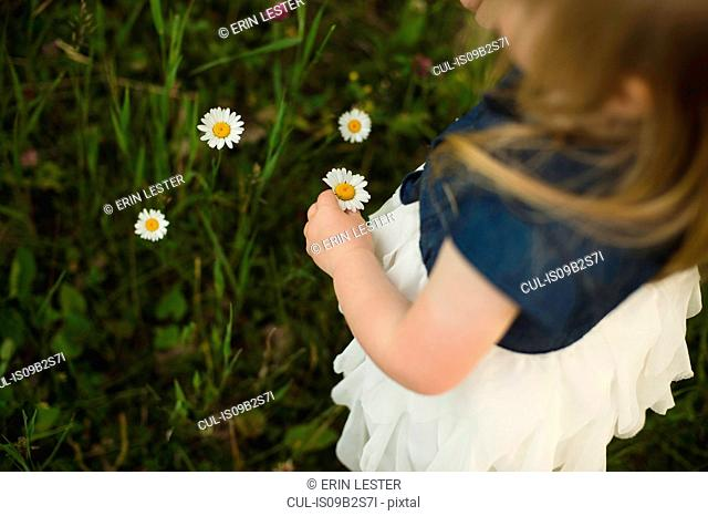 Over shoulder view of girl picking daisy flowers