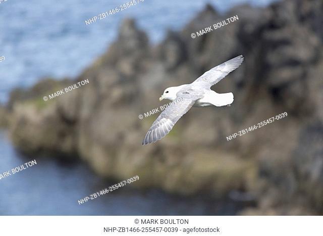 Fulmar in flight Fulmarus glacialis Arnol RSPB Nature Reserve Loch na Muilne Isle of Lewis Outer Hebrides Scotland