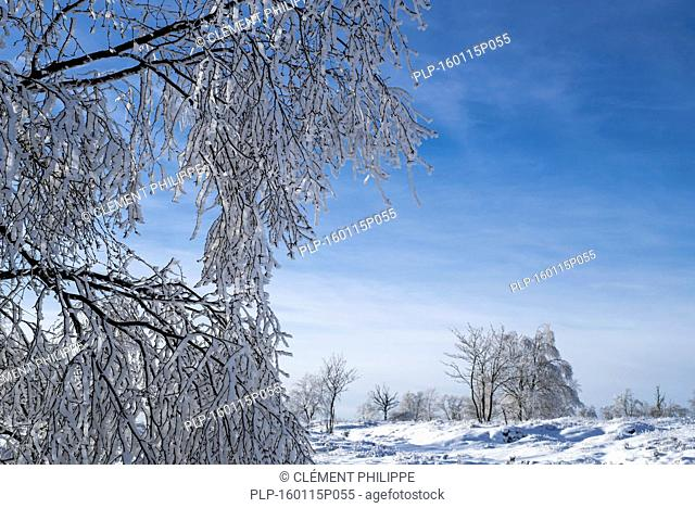 Downy birch (Betula pubescens) tree covered in white frost in winter