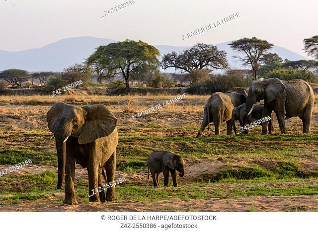 African bush elephant (Loxodonta africana) in the Ruaha River. Ruaha National Park. Tanzania