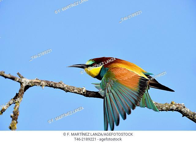 Bee-eater Merops merops. Guadarrama Regional Park, Madrid Province, Spain
