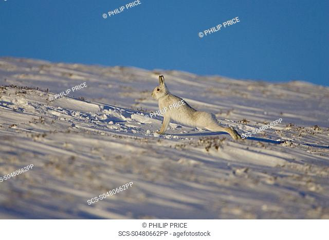 Mountain Hare Lepus timidus stretching in snow with heather poking through snow highlands, Scotland, UK