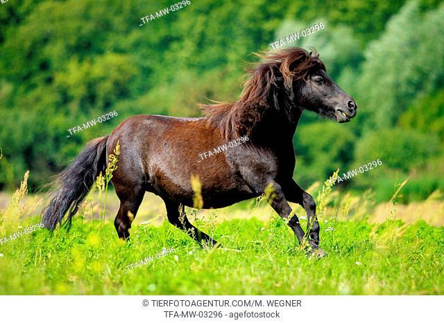 galloping Shetland Pony