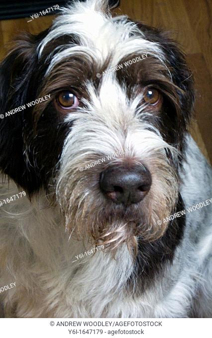 Pet German Wirehaired Pointer dog
