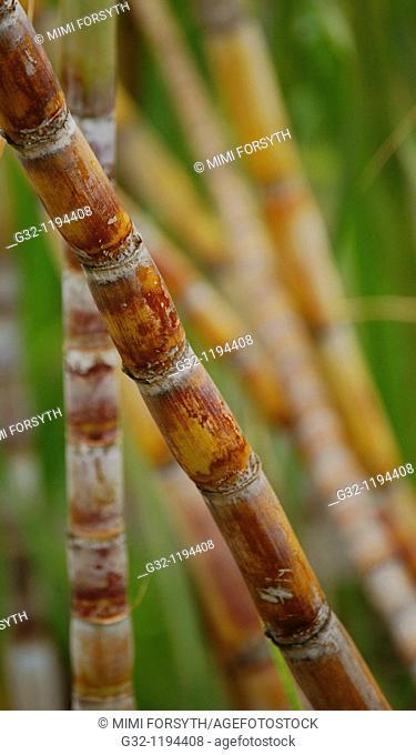 Stalks of sugarcane (Saccharum officinarum) in the field