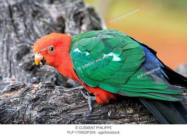 Australian king parrot (Alisterus scapularis) male, native to eastern Australia
