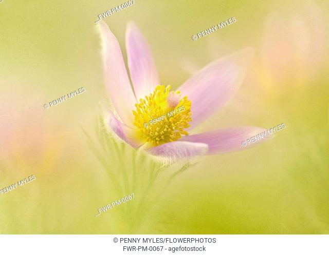 Pasqueflower, Pulsatilla vulgaris, single flower shot in a dreamy soft focus style in a golden background
