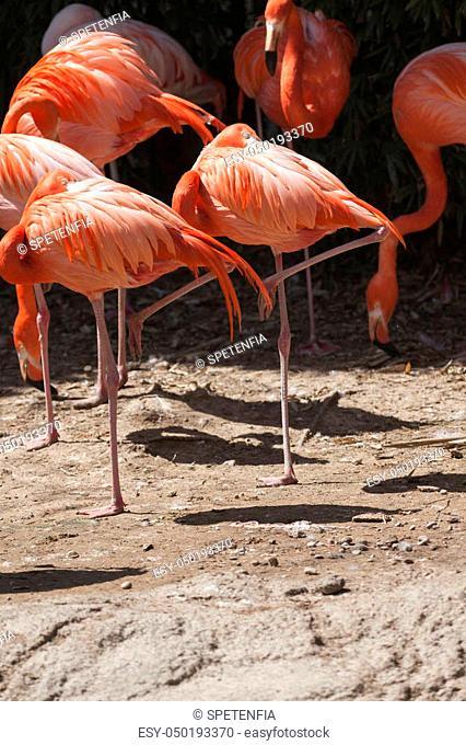 phoenicopterus ruber ruber red flamingo