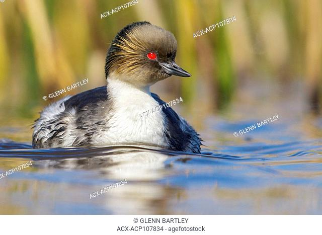 Silvery Grebe (Podiceps occipitalis) swimming on a small pond in the Falkland Islands