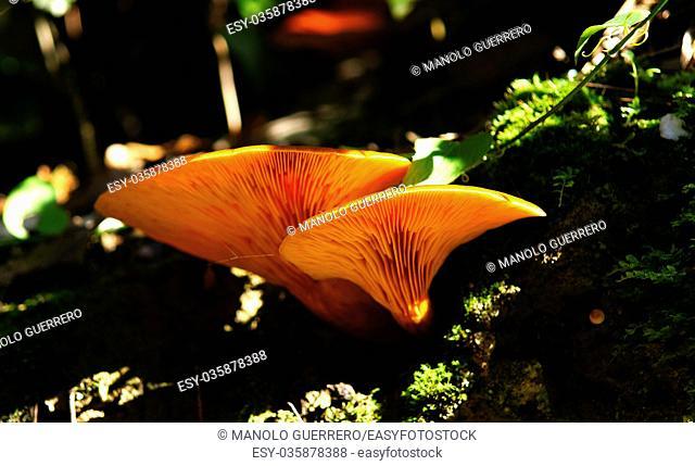 Mushrooms in the Autumn of Collserola Park in Barcelona, Catalunya Province, Spain