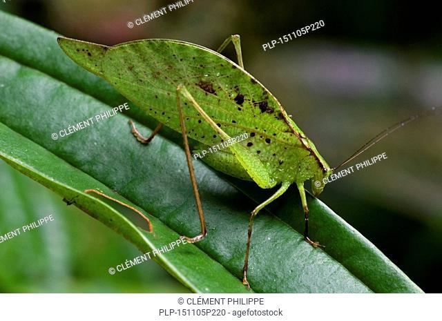Leaf-mimic katydid (Orophus tesselatus) on leaf, Costa Rica