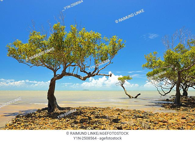 Mangrove Trees at the Stone Coast, Clairview, Queensland, Australia
