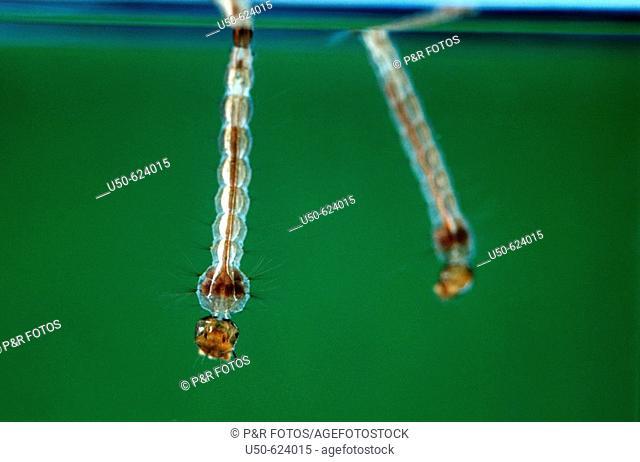 Larva of Culex sp., Mosquito, Diptera: Culicidae,  Viçosa. Minas Gerais, Brazil