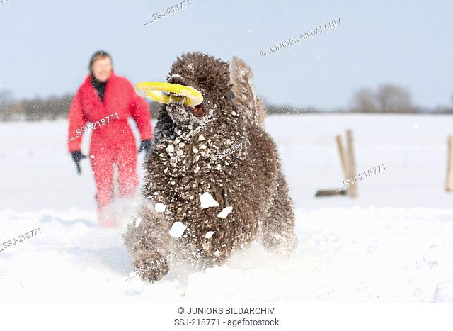 Standard Poodle. Adult fetching a rubber ring in winter. Germany