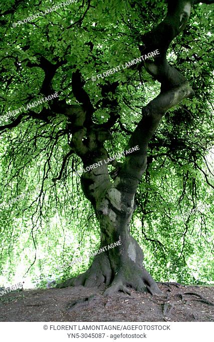 Rare and local tree named 'faux de verzy' in Reims, in Marne's department and Champagne's region