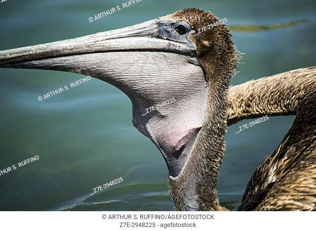 Brown pelican swallowing a scrap of fish. Port of Cabo San Lucas, Mexico