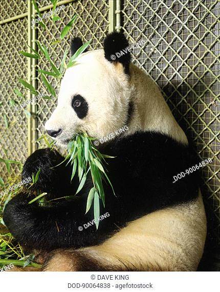 Giant Panda, Ailuropoda melanoleuca, an adult nibbles bamboo beside a wire fence