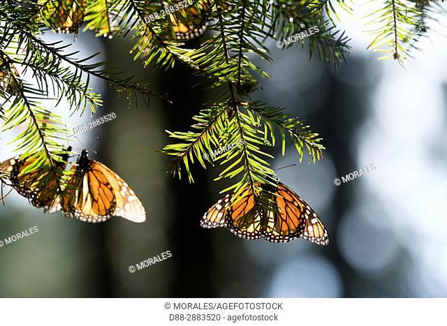 Central America, Mexico, State of Michoacan, Angangueo, Reserve of the Biosfera Monarca El Rosario, monarch butterfly (Danaus plexippus)