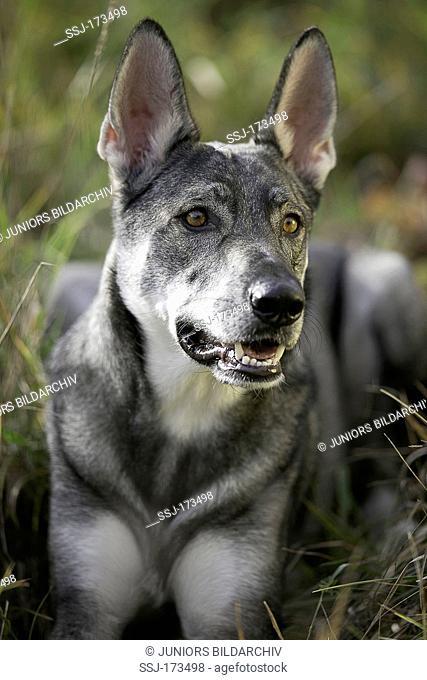 Marxdorfer Wolfdog. Portrait of adult dog. Germany