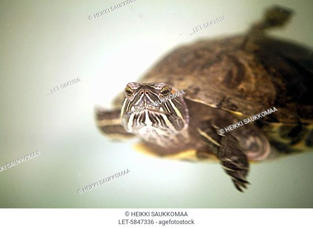 A tortoise swims in an aquarium in a shelter for homeless animals in Viikki, Helsinki  Finland