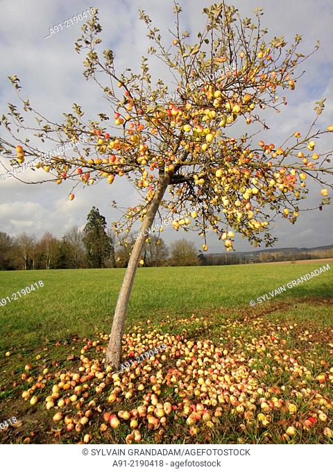 France, Touraine, Indre-et-Loire, Vouvray by river Loire, fallen ripe apples at fall