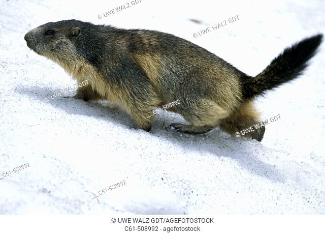 Marmota marmota, in the snow, Saeugetiere, Austria