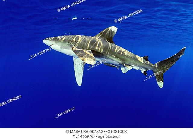 oceanic whitetip shark, Carcharhinus longimanus, with remora, Remora sp , IUCN Vulnerable Species, Kona Coast, Big Island, Hawaii, USA, Pacific Ocean