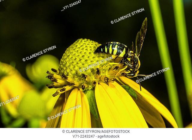 Eastern Sand Wasp (Bembix americana spinolae) Feeding on Cutleaf Daisy (Engelmannia peristenia) Flower