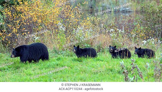 Wild American black bear (Ursus americanus) sow with her three, 2nd year cubs, Quetico Provincial Park, Ontario, Canada