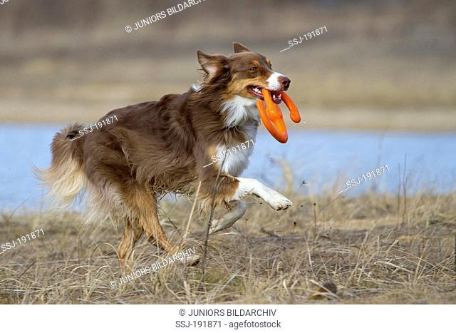Australian Shepherd. Adult dog (red tri) fetching a toy. Germany