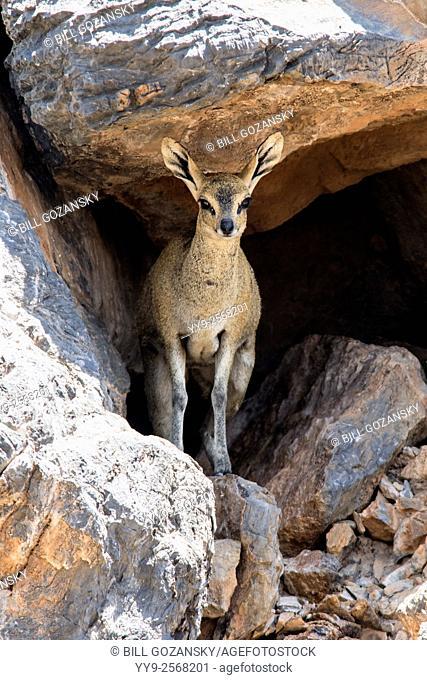 Klipspringer (Oreotragus oreotragus) - Fish River Canyon - Karas Region, Namibia, Africa