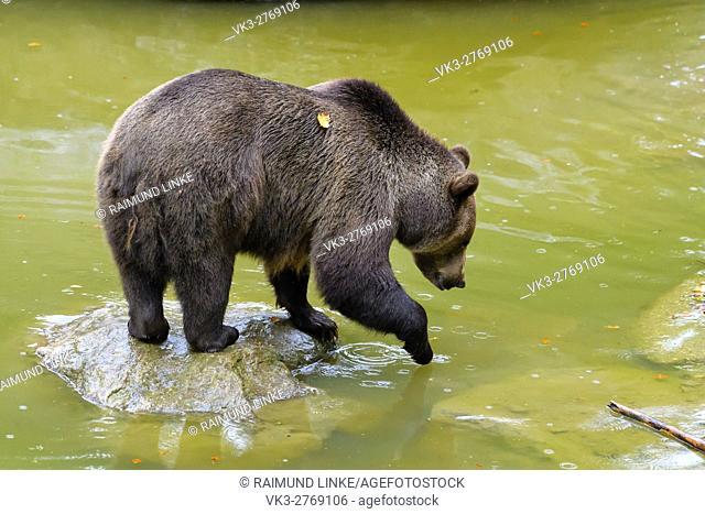 Brown Bear, Ursus arctos, in pond, Bavaria, Germany