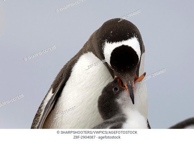 Antarctica, Antarctic Peninsula, Lemaire Channel, Petermann Island, Gentoo Penguins