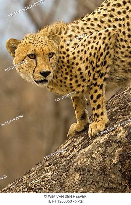 Cheetah on tree trunk, Greater Kruger National Park, South Africa