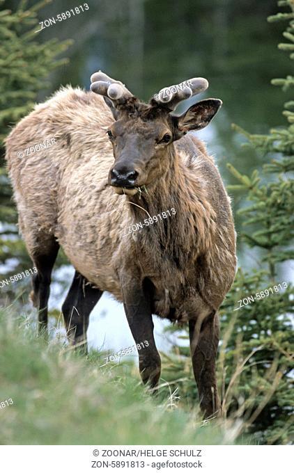 Wapitihirsch mit Bastgeweih im Fruehjahr - (Wapiti-Hirsch) / Bull Elk with velvet-covered antler in early spring - (American Elk - Rocky Mountain Elk) / Cervus...