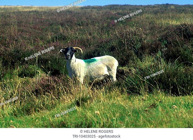 Exmoor Somerset England Sheep On The Moors