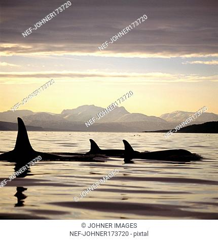 Silhouette of killer whale in sea, Norway