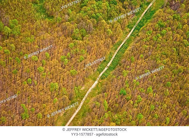 Defoliated trees on the Huron-Manistee National Forest in Michigan caused by a tent catapillar infestation  Tent catapillars are native to Michigan and cause no...