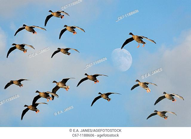 Pink foot Geese Anser brachyrhynchus Holkham Norfok and Rising Moon COMPOSITE