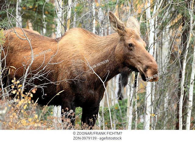 Elchkuh Yukon Kanada