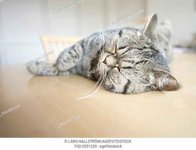 British shorthair cat lying on kitchen table sleeping