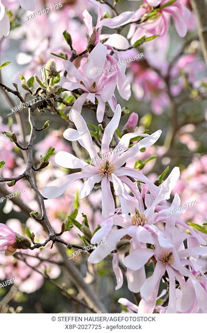 Magnolia (Magnolia x loebneri 'Leonard Messel')