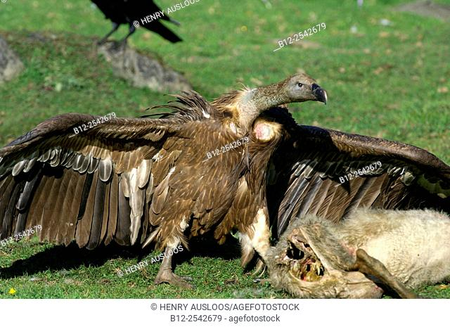Griffon Vulture Gyps fulvus, on sheep carcass, Pyrenees, France